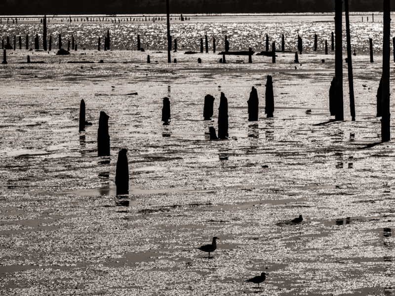 20170912 blog north bay birds and pilings